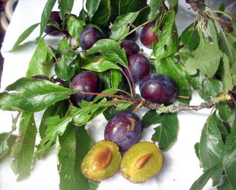 Relance de la prune de Saint-Antonin
