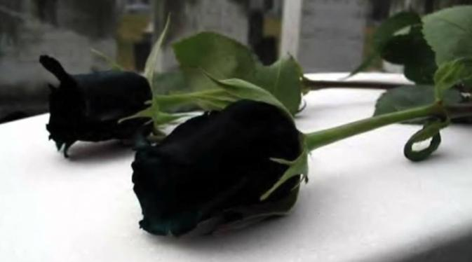 Halfeti (TR) - Black roses, only growing in Turkey, ready to